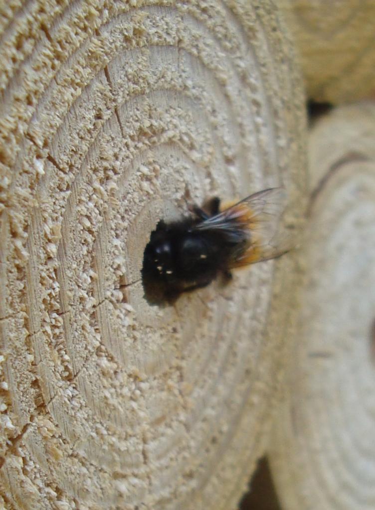 Abeille sauvage dans hotel à insectes